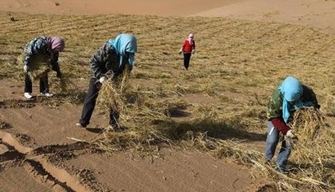 В Китае выращивают урожай на песке