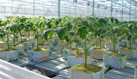 Открыт способ повысить урожайность картофеля с помощью гидропоники