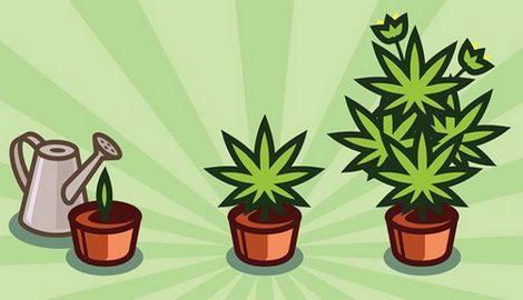 Пять простых в выращивании сортов каннабиса для начинающих