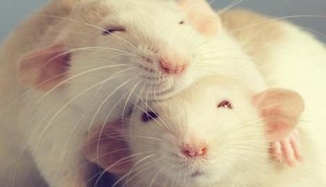 Даже крысы под коноплей становятся ленивыми