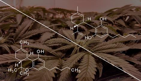Познакомьтесь с THCP и CBDP: изучены два новых каннабиноида