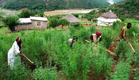 Африканское чудо. Как активисты в ЮАР каннабис декриминализировали