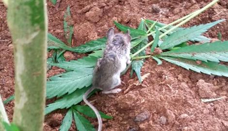Гровер вылечил мышь от марихуановой зависимости
