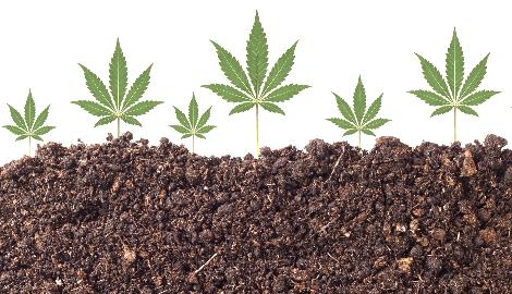 Конопля очищает ядовитую почву и не накапливает токсины в соцветиях