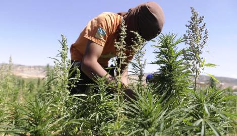 Ливан легализовал медицинский каннабис с целью преодолеть экономический кризис