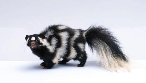 Почему Skunk скунсами пахнет?