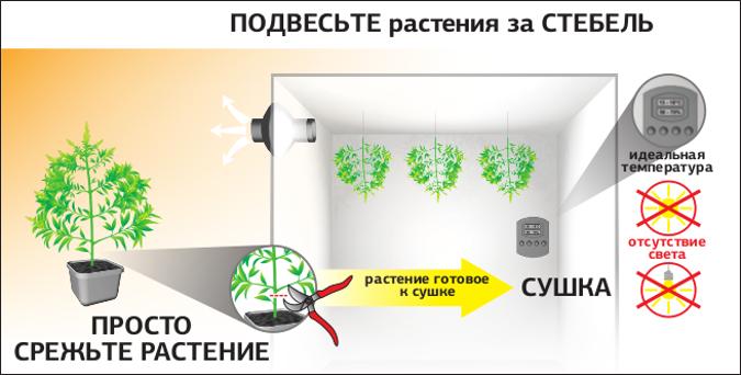 Повесьте растения за СТЕБЕЛЬ, идеальная температура, отсутствие света, для  СУШКИ ПРОСТО СРЕЖЬТЕ РАСТЕНИЕ Как только растение срезано, прикрепите его к потолку верх