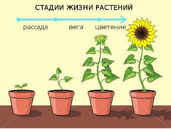 Стадии растений