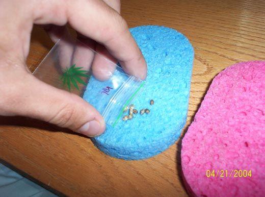 Как замачивать семена конопли конопля отличить от подделки