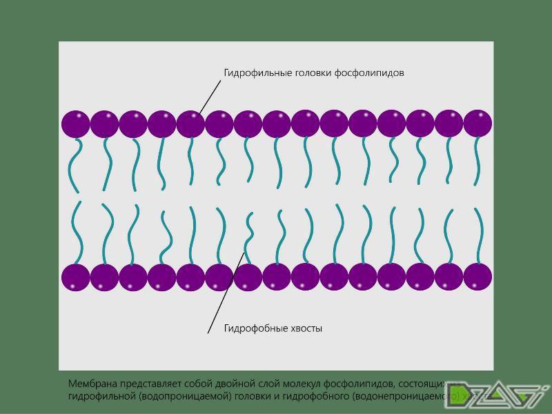 Как растение потребляет питательные вещества. Мембранный транспорт. Физиология растений.