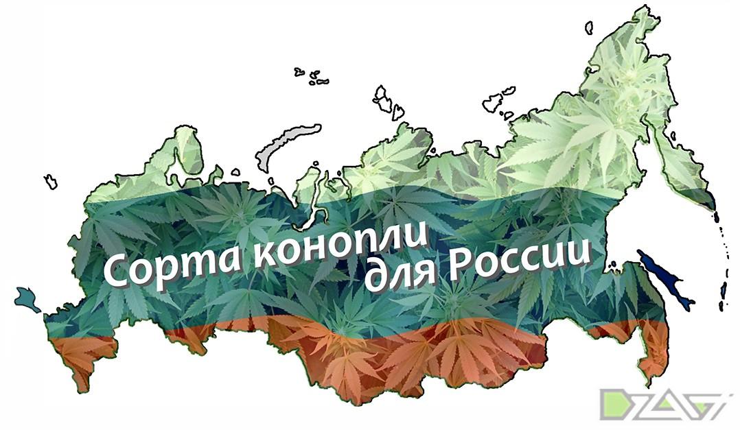 Сорта конопли для России