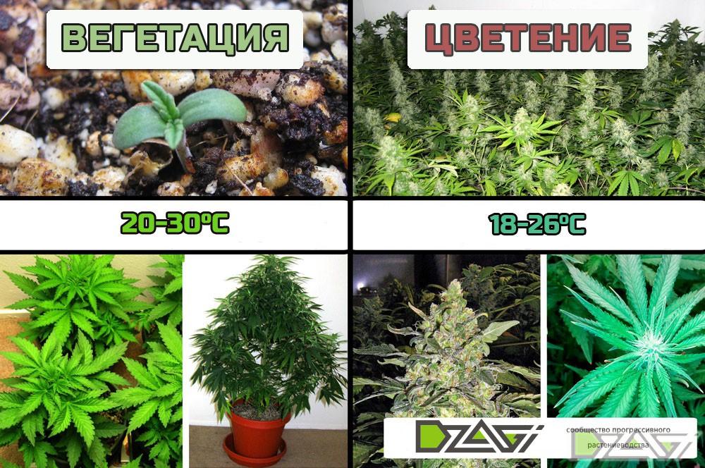 температура выращивания на стадиях вегетации и цветения_дзаги