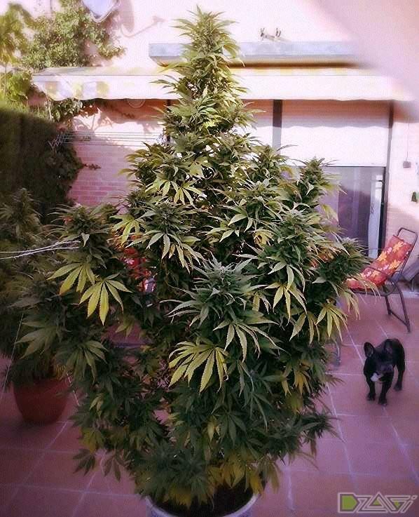 Самые урожайные сорта марихуаны сколько конопля держится в крови